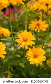 Yellow Flowers Rudbeckia (Rudbeckia Laciniata) Grow In Flower Bed In Summer Close Up.