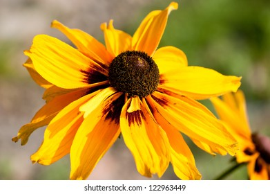 Yellow Flowers Rudbekia closeup