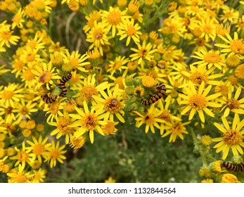 Yellow flowers, Seaton Carew Sand Dunes, Hartlepool, England