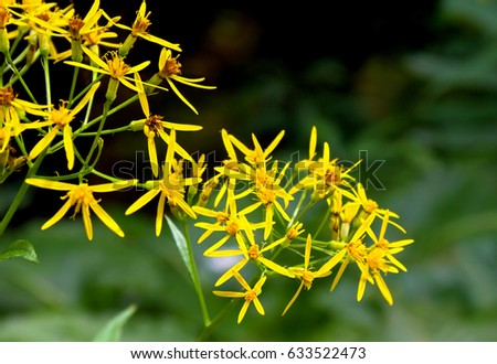 Yellow flowers senecio ovatus common names stock photo edit now yellow flowers senecio ovatus common names wood ragwort on forest mightylinksfo