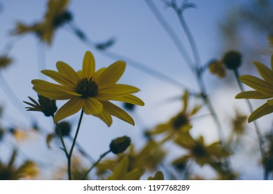 Yellow flowers in sky blue background. Autumn/fall season
