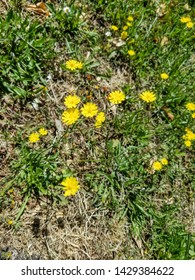 Yellow flowers of smooth hawksbeard, Crepis capillaris, growing in Galicia, Spain