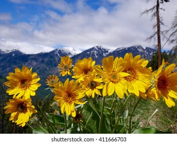 Yellow Flowers and Snow Capped Mountains in Spring.  Fourth of July trail near Leavenworth and Seattle, Washington State, USA.