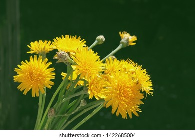 yellow flowers of Sonchus  arvensis wild plant