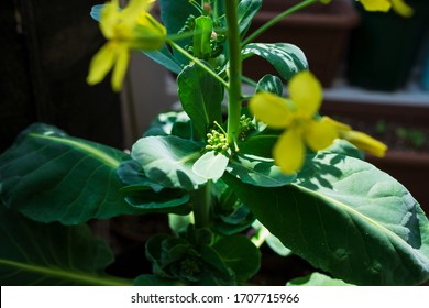 Yellow flowers and sprouts of Brussels sprouts