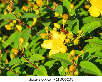 Yellow flowers St. John's wort shrub Hidcote, Hypericum patulum Hidcote. Flowers in the bright sunset, tutsan