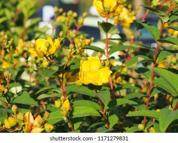 Yellow flowers St. John's wort shrub Hidcote, Hypericum patulum Hidcote. Flowers in the bright sunset, tutsan.