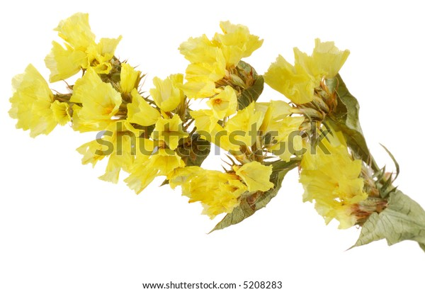 Yellow flowers of Statice Limonium Sinuatum on white background