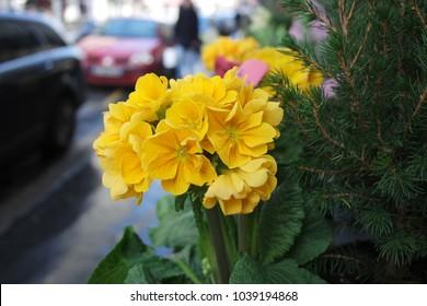 Yellow flowers street