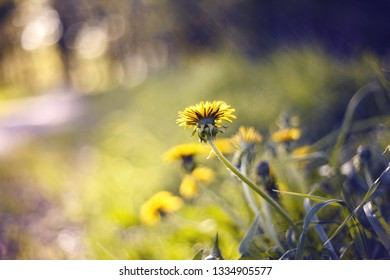 Yellow flowers of summer weeds - a dandelion.