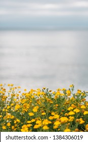 Yellow flowers at Sunset Cliffs Natural Park in Point Loma, San Diego, California