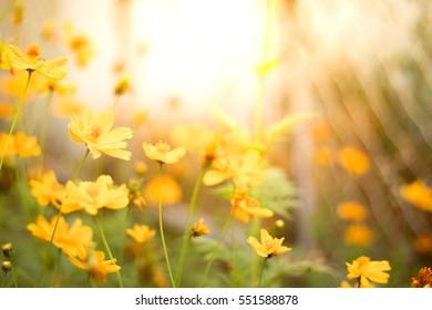 yellow flowers sunset defocus background.