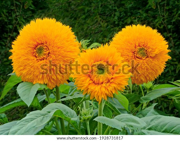 yellow-flowers-symbolizing-family-father