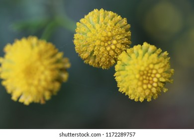 Yellow flowers tansy ordinary (bitter buttons, cow bitter or golden buttons - Tanacétum vulgáre), covered with morning dew. Close-up. Macro. Soft focus effect.