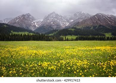 Yellow flowers in Tekes  river valley in Terskey Ala-Too mountain range,  Tian Shan mountains, Kazakhstan, Central Asia