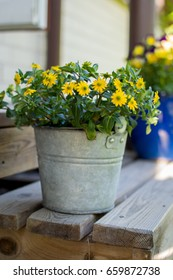 Yellow flowers in a tin bucket in garden