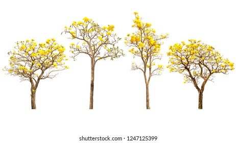 Yellow flowers trees isolated on white background.