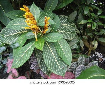 Yellow flowers of a tropical plant inside the rainforest biome at Eden Project in Cornwall, United Kingdom