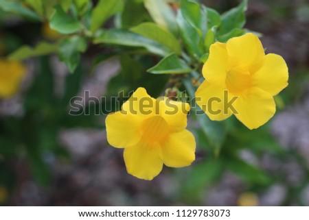 Yellow Flowers Venice Florida Stock Photo Edit Now 1129783073