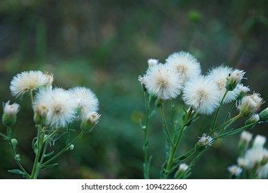 Yellow thistle images stock photos vectors shutterstock yellow flowers with white fluff similar to dandelions but this is a field milk thistle mightylinksfo