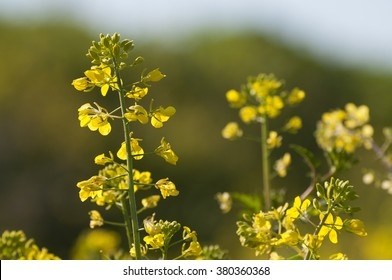 Wild mustard images stock photos vectors shutterstock yellow flowers wild mustard mightylinksfo