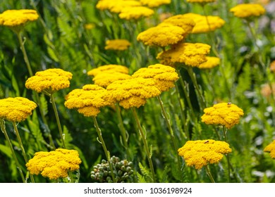 "Yellow Flowers of Yarrow Achillea filipendulina ""Gold Plate"" in agricultural field. Fern Leaf Yarrow yellow blossoms, close up"