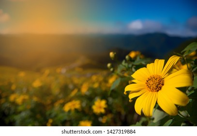 yellow flower,sunflower in the garden, yellow  flower on the morning.Mexican sunflower.
