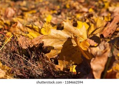 yellow foliage of maple during leaf fall, atumn season