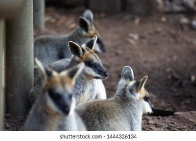 Yellow Foot Rock Wallabies (x4) at an Australian Zoo - Four Marsupials, smaller than a Kangaroo