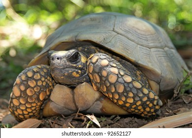 Yellow Footed Amazon Tortoise (Geochelone denticulata) in the WILD in the Peruvian Amazon