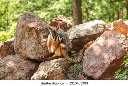Yellow footed rock wallaby kangaroo ( Petrogale xanthopus ) sitting on red rocks sun lit trees in background
