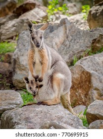yellow footed rock wallaby (Petrogale xanthopus) with joey in pouch