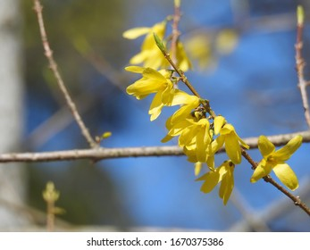 Yellow Forsythia is called Northern Gold bush.