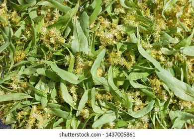Yellow fragrant flowers of a linden tree background. Dried linden blossoms reduce body heat during illness.