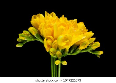 Yellow Freesia, close up of flower in spring with black background