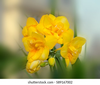 Yellow freesia flower macro, bokeh background, green leaves close up.