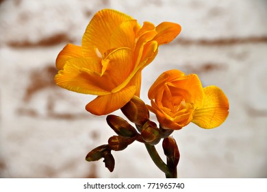 Yellow freesia on a patterned background