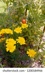 Yellow French marigolds grow alongside ripening tomatoes as companion planting to deter pests