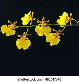 Yellow fressia isolated on black