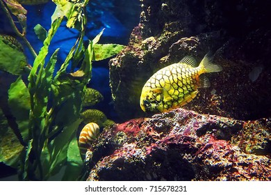 The yellow freswater fish in under fresh environment and green water plant