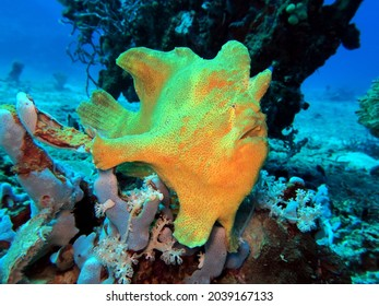 A yellow Frogfish on corals Boracay Island Philippines