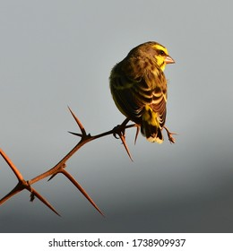 yellow fronted canary bird in Hluhluwe game reserve in South Africa