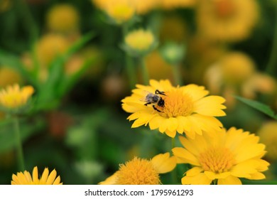 Yellow Gaillardia, blanket flower with bee close-up