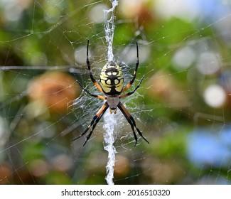 Yellow Garden Spider (Argiope aurantia) arachnid