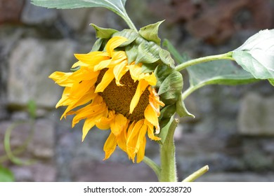 A yellow garden sunflower with a stone wall background