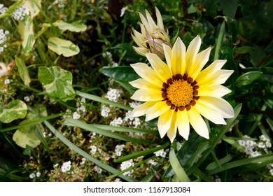 "Yellow Gazania Daybreak and white Alyssum ""carpet of snow"" flowers"