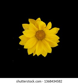 Yellow gazania flower with many petals and quirky shape from above isolated on black