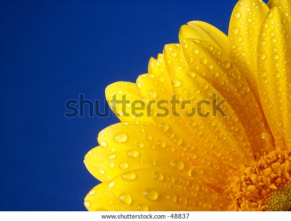 Yellow Gerber covered in water droplets against a blue background.
