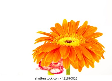 yellow gerber  flowers ,white background ,studio ,carnations ,red  ,white ,amazing ,close up ,orange ,spring ,lovely ,floral ,natural ,petal ,nature ,decoration ,bouquet