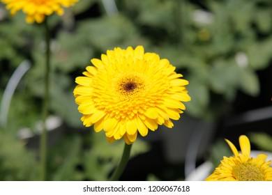 Yellow Gerbera Daisy in the Wild Gardens